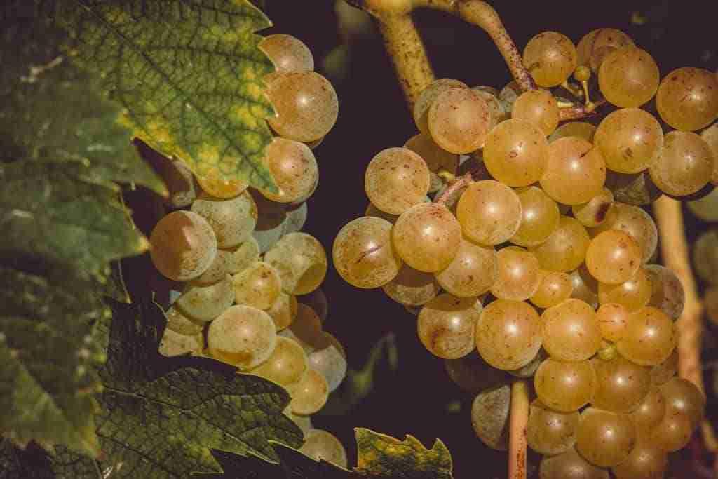 grappolo-uva-bianca