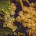Il vino a Ischia