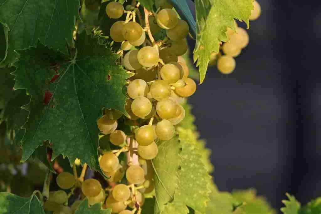 grappolo di uva bianca generico