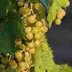 Vino senza alcol, la proposta Ue per il vino dealcolizzato